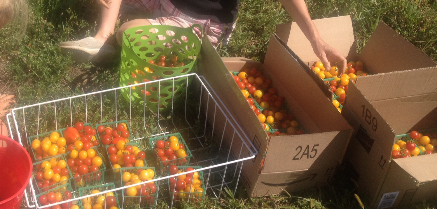 Cherry Tomatoes and Kale Gleaned and Donated to Food Pantry